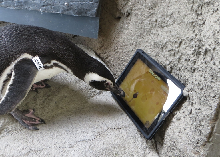 Penguin plays with iPad
