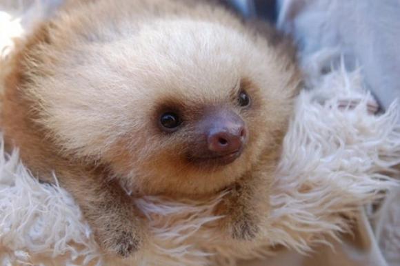 l-Baby-sloth